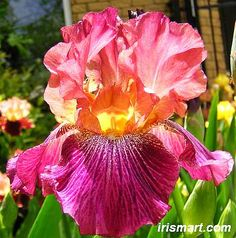 Vibration Tall Bearded Iris