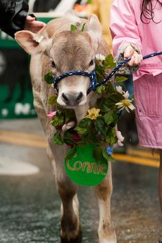 Strolling of the Heifers - Brattleboro www.discoververmontvacations.com