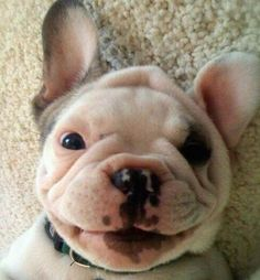 Love his cute little smile! #French_Bulldog #puppy