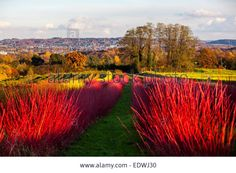 Dogwood Shrub, Red Twig Dogwood, Winter Garden, Hedges, Shrubs, Vineyard, Germany, Country Roads, Nursery