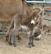 Pictures of baby miniature donkeys