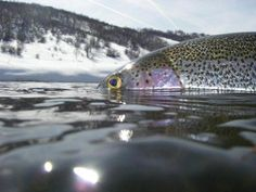 In Colorado we are lucky to have some insane winter fly fishing opportunities. So where are Colorado's best winter fly fishing streams? Fly Fishing For Beginners, Fly Fishing Tips, Best Fishing, Fishing Lures, Fishing Kit, Fishing Tricks, Fishing Techniques, Fishing Tackle, Coarse Fishing