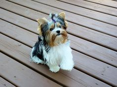 The Popular Pet and Lap Dog: Yorkshire Terrier - Champion Dogs Yorkies, Biewer Yorkie, Yorkie Puppy, Cute Puppies, Cute Dogs, Dogs And Puppies, Poodle Puppies, Dogs 101, Little Dogs