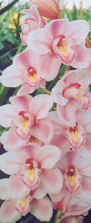 Cymbidium Orchids : Kiwi Orchids - Cymbidum Orchid Varieties - Narella Adams Choice
