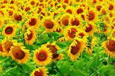 Sun followers