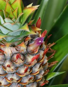 Ananas comosus – Pineapple - Hawaiian Plants and Tropical Flowers, You can cut the top of a pineapple and use the top to take root and you can grow them, believe it or not....