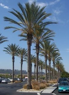 Commercial date palm install large date palm 20  feet clear trunk wholesale date palms at realpalmtrees 1-888-778-2476