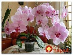 Nikdy by som tom neskúsila, keby nie som z mojej orchidey zúfalá, no funguje to ako zázrak. Namiesto substrátu som ju položila na toto a do týždňa nahodila puky!