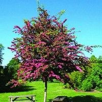 crataegus laevigata 39 paul 39 s scarlet 39 flowering tree. Black Bedroom Furniture Sets. Home Design Ideas