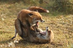 Ira was hunting and she was about to burry she catch when a large male fox jumped out at her and attacked her. She growled and tried to fight back, but her size came to a disadvantage and the other fox pinned her down.
