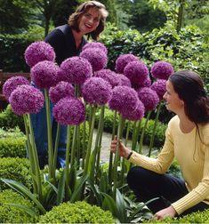 Fleurs en ligne Jacques Briant : ALLIUM GEANT GLADIATOR, arbres, potagers, rosiers, vivaces, arbustes, fruitiers, bulbes pour jardin, terrasse, balcon réussis !