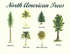 north American trees - Google 搜索