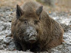 Europe's Wild Boar Population Exploding Wild Boar Hunting, Animal Totems, Brown Bear, Dumb And Dumber, Animals, Pigs, Management, America, Image