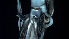 """""""The Kraken Is Real: Scientist Films First Footage Of A Giant Squid"""" Listen to <5min. story via All Things Considered"""