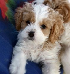 We found our dog! A Cavapoo. Cavalier King Spaniel and poodle mix.  So cute and somewhat familiar looking to Nellie!