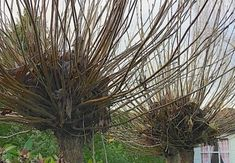 Wanneer snoei je een Bolcatalpa? (En hoe?) Herbs, Lawn, Herb