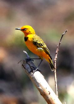 The endangered yellow chat captured by Micha V Jackson #Kakadu