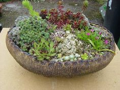 alpines plants grown in containers | Alpine Garden Society On-line Show, 2007 - On-line Shows - Alpine ...