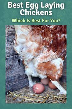 Chicken Garden, Backyard Chicken Coops, Chicken Feed, Chicken Runs, Chickens Backyard, Best Chickens For Eggs, Food For Chickens, Raising Chickens, How To Raise Chickens