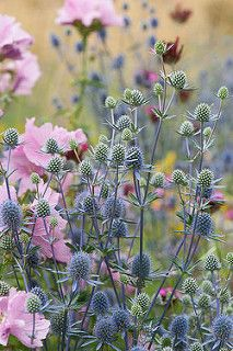 outdoor flowers Eryngium planum 'Blaukappe' and pink Hollyhock mallow (Malva alcea 'Fastigiata'), mid July. Beautiful Gardens, Flower Garden, Country Garden Decor, Cottage Garden, Perennials, Country Gardening, Plants, Planting Flowers, Plant Combinations