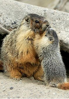 Marmot and her baby