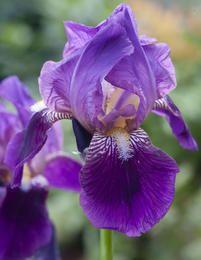 'iris' by bobewing Flower Beds, Iris, Dear Friend, Amanda, Garden Ideas, Plants, Photos, Pictures, Landscaping Ideas