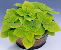Coleus Giant Exhibition Limelight - good contrast with the reg/pink/green ones that I have