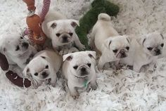 What! White pugs?