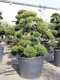 Resultado de imagem para bonsai de buxus