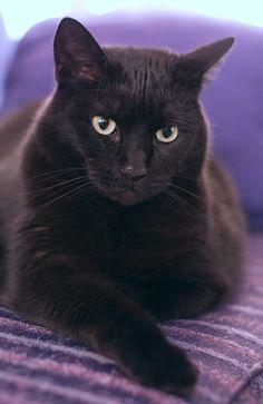 Black Cat - I love cats ♡ - Animal Gato, Amor Animal, Pretty Cats, Beautiful Cats, Kittens Cutest, Cats And Kittens, Ragdoll Kittens, Tabby Cats, Funny Kittens