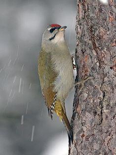 Harmaapäätikka, Picus canus - Ollila, Vihti 3.2.2018 Woodpeckers, Horse Pictures, Bird Houses, Finland, Mother Nature, Natural Beauty, Scenery, Wildlife, Walking
