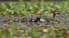 Family Outing - An adult Pacific Black Duck leading it's very young ducklings through a patch of waterlilies in search of food.