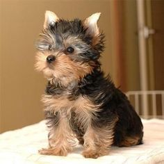 Teacup Yorkie. I don't normally like little dogs, but this one is particularly precious! #yorkshireterrier