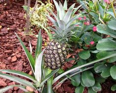 When I arrived in Florida from New York, I had no idea that one of the most unobtrusive plants in the poorly tended patch available for landscaping in the front of my modest attached villa was an edible pineapple. There was no pineapple when I moved in, A year later, it was this! I was so excited.