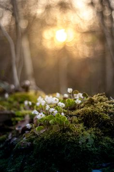 Spring by Rasmus Tromborg-Hviid - Photo 67565817 / - - Spring Aesthetic, Nature Aesthetic, Mother Earth, Mother Nature, Oxalis Acetosella, Foto Nature, Spring Nature, Spring Forest, Nature Pictures