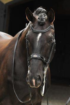Sezuan - Danish Warmblood stallion