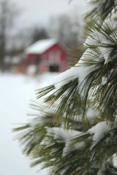 SEASONAL – WINTER – the pine forest knows that winter is coming.