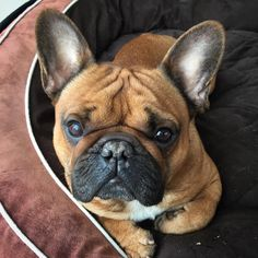 Mr Gizmo, the French Bulldog ❤