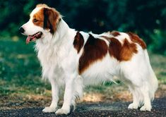 "Kooikerhondje - If you happened to spy a Kooikerhondje walking down the street, you probably wouldn't know what to call it, much less how to pronounce it (it's ""koy-ker-hondt-chuh""). Just seeing one of these dogs in the United States would be a treat because they are so rare."