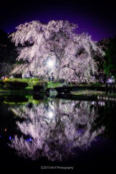 Cherry tree at night in Japan