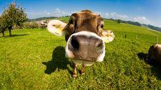 Wallpaper Desktop Background Cow  (10)