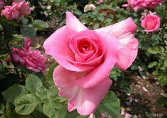 Imagen de http://www.rosas.info/imgGaleria/321_MED.jpg.