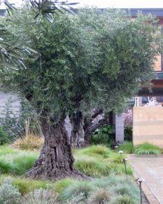 planter un olivier fiches conseils id es maisons pinterest planters gardens and garden. Black Bedroom Furniture Sets. Home Design Ideas