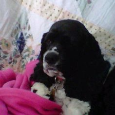 My baby English Cocker Spaniel~ Daisy 5yrs. young,