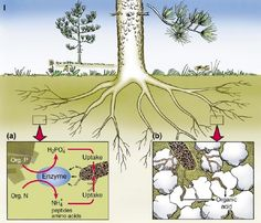 Earth's Internet & Natural Networking: Mycorrhizal Fungi run the Largest Mining Operation in the World