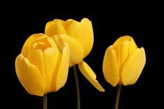 Tulipas, Amarelo, Flores, Primavera