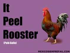 It Peel Rooster (Peló gallo) #Funny  #Spanish #Mexico