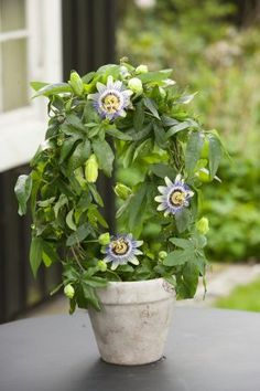 Flora Flowers, Home Flowers, Garden Web, Garden Pots, Balcony Garden, Container Plants, Container Gardening, Hoya Plante, Passion Fruit Flower