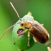 Viburnum Leaf Beetle Project is a citizen science project to