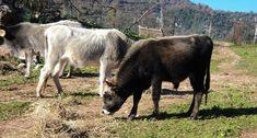 Ιστορικά Σενάρια: η Αγελάδα [λαϊκή ονομασία] ή η Δάμαλις ή Δάμαλη [ο... Horses, Animals, Animales, Animaux, Animal, Animais, Horse